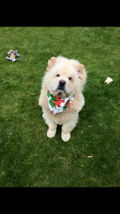 Cream male Chow Chow from a Russian Champion blood line  Listing Image