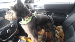 Handsome Male Purebred Mini Schnauzer looking for his bride. He is registered AKC. Listing Image