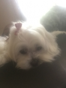 Purebred lovable Maltese bitch looking for stud  Featured Image