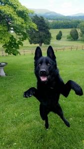 Black AKC German Shepherd Listing Image