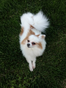 Female Pomeranian, 3 years old Listing Image