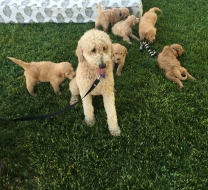 RED MALE STANDARD POODLE Listing Image