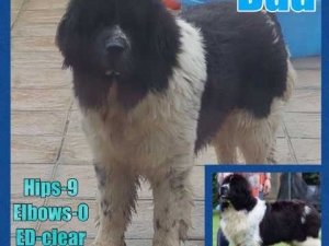 Stunning champion sired  fully health tested Newfoundland stud Listing Image