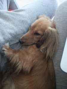 Long Haired Cream Dachshund Stud Dog Listing Image