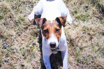 Fox Terrier Stud Listing Image