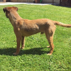 Borer / Lakeland terrier for stud  Listing Image