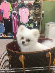 White male Pomeranian ready to find a lady Listing Image