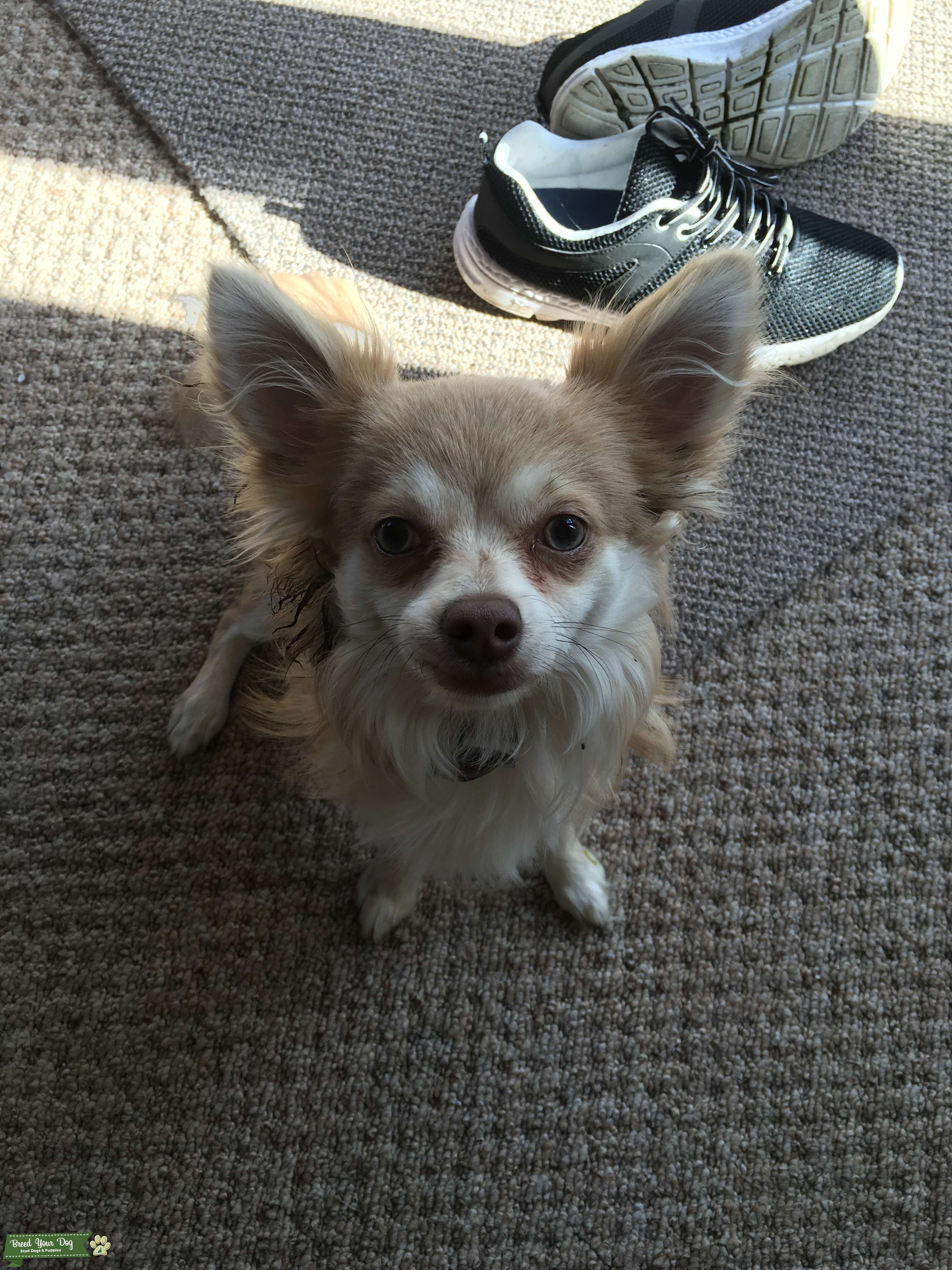 Gorgeous Long Haired Mink American Chihuhua  Listing Image Big