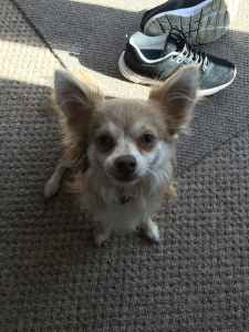 Gorgeous Long Haired Mink American Chihuhua  Listing Image