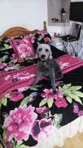 Blue Bedlington Terrier Listing Image