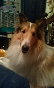 Rough Collie for stud  Listing Image