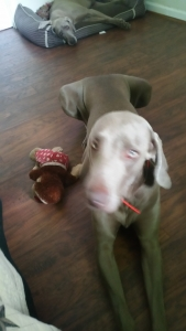 120 lb 1-1/2 old beautiful stud he is a very big Weimaraner in perfect shape.  Listing Image