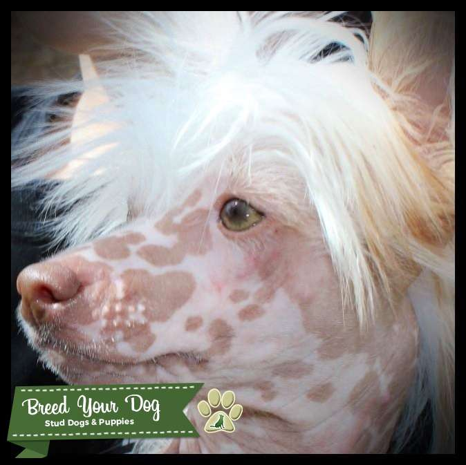Chocolate Tri-color Hairless Chinese Crested Listing Image Big