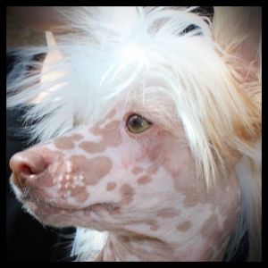 Chocolate Tri-color Hairless Chinese Crested Listing Image