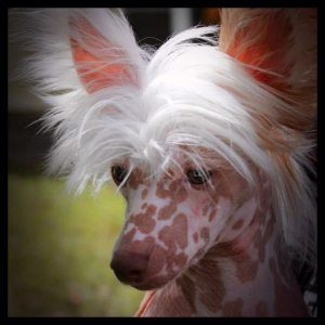 Chocolate Tri-color Hairless Chinese Crested Listing Image Thumbnail