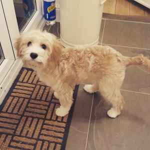 Apricot Cavapoo Available for Stud Listing Image