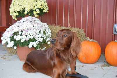 Irish Setter stud dog Listing Image
