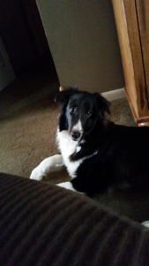 Sheltie looking to breed with male  Listing Image