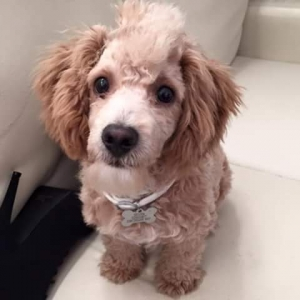 Male miniature poodle looking for female  Featured Image
