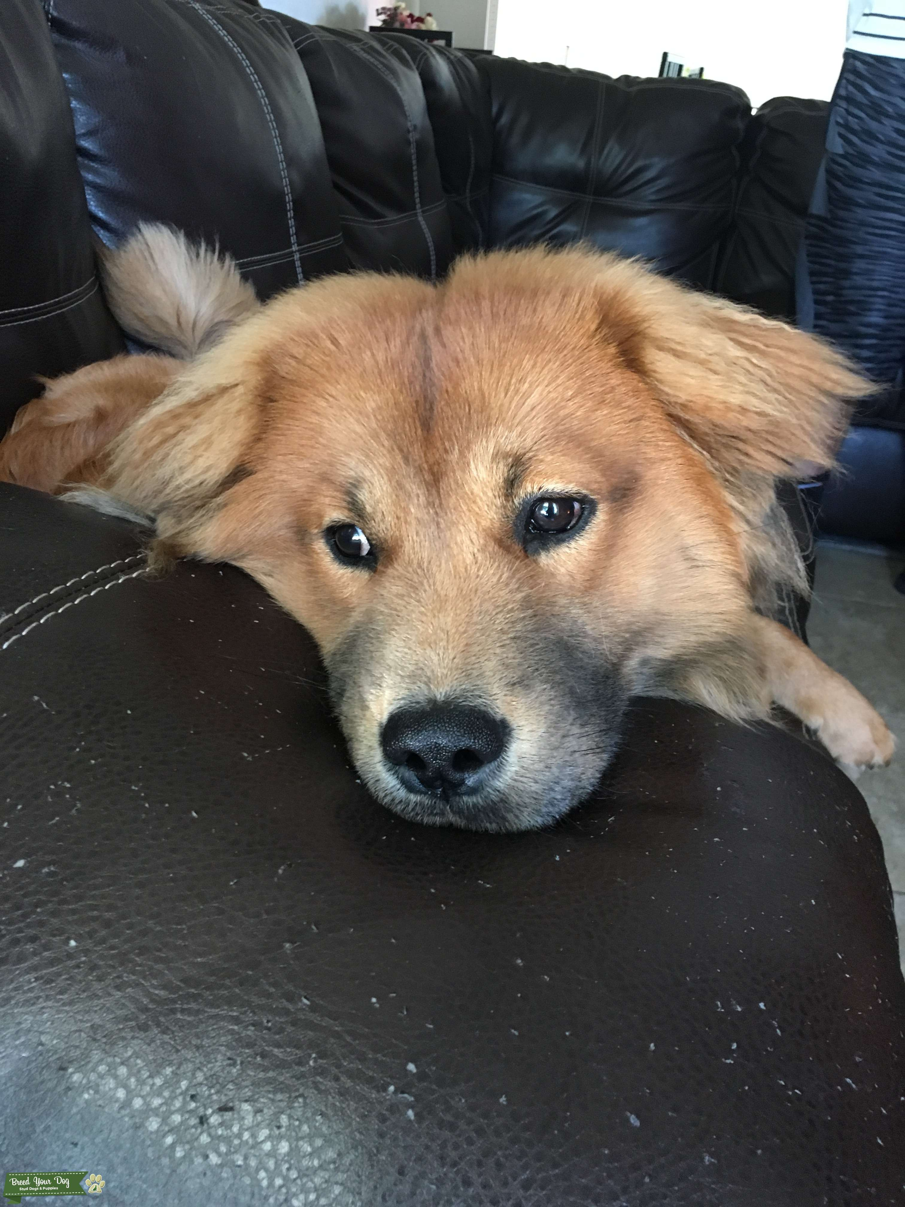 Stud Dog - Chow chow lab mix - Breed Your Dog
