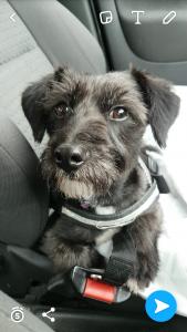 Patterdale Terrier  Listing Image
