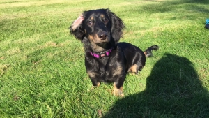 Female Black & Cream Long-Haired Dachshund looking for Long-Haired Dachshund Stud Listing Image
