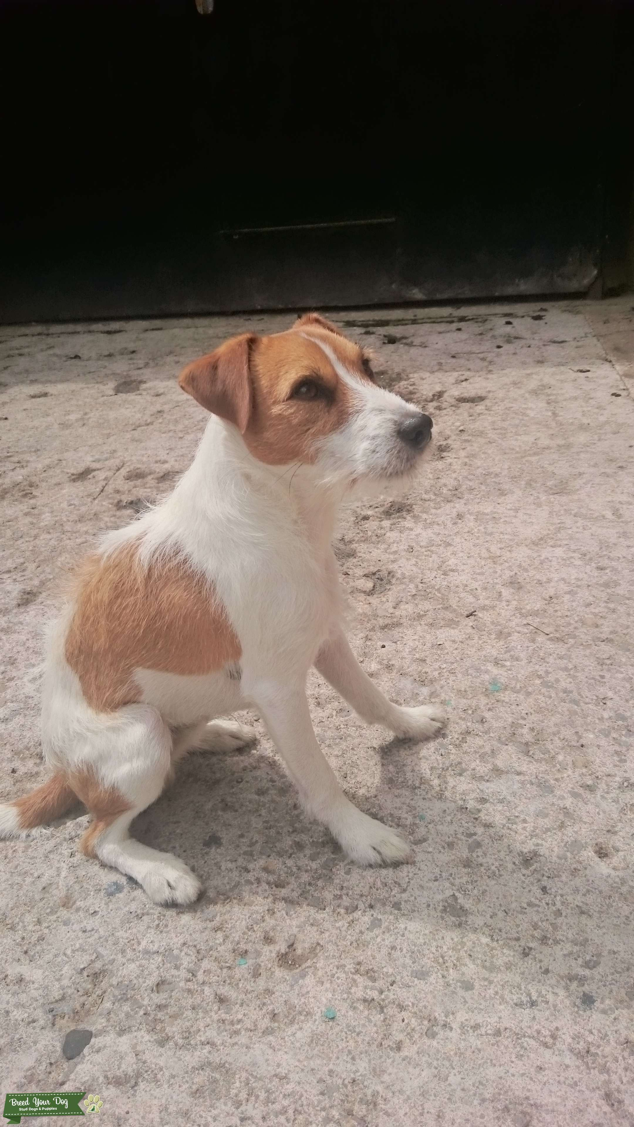 Parson Jack Russell Listing Image Big