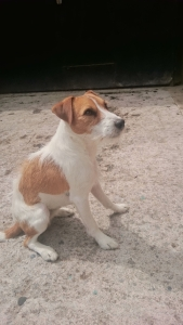 Parson Jack Russell Listing Image Thumbnail