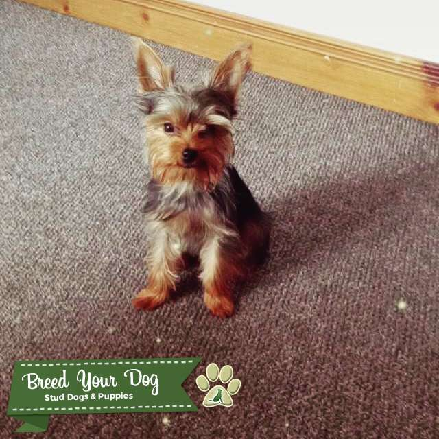 Teacup Yorkie Weight Chart Rebellions