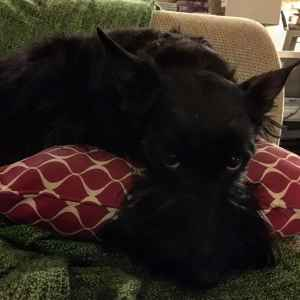 Black Scottish Terrier Listing Image