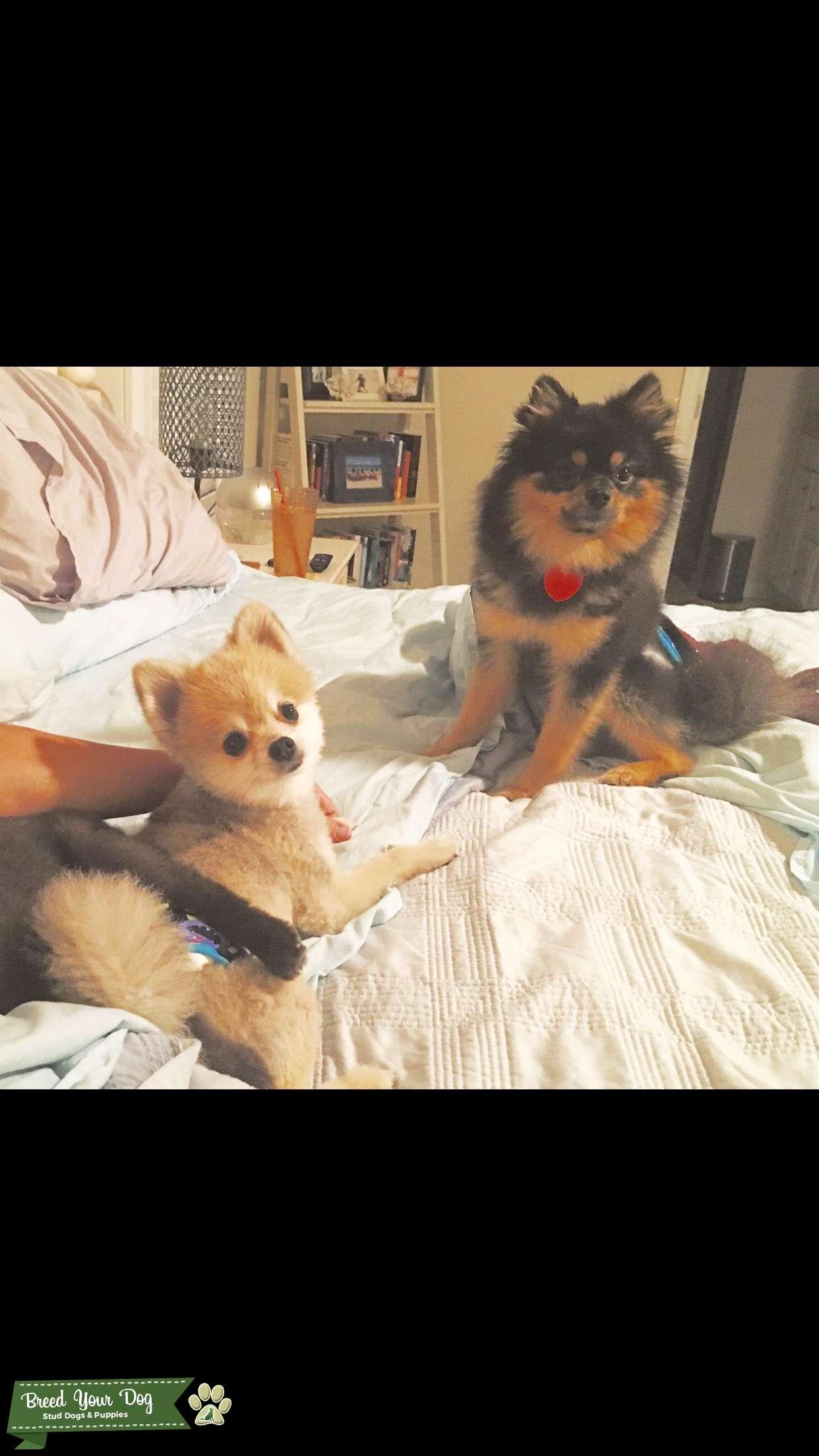Black and Tan Miniature Pomeranian  Listing Image Big