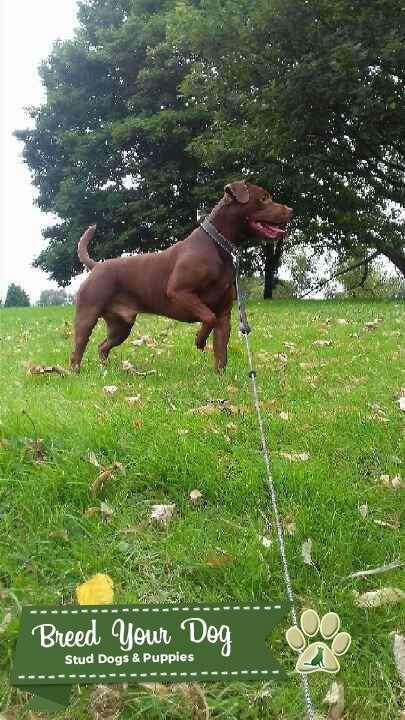 Chocolate Patterdale terrier stud  Listing Image Big