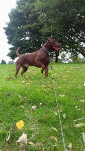 Chocolate Patterdale terrier stud  Listing Image Thumbnail