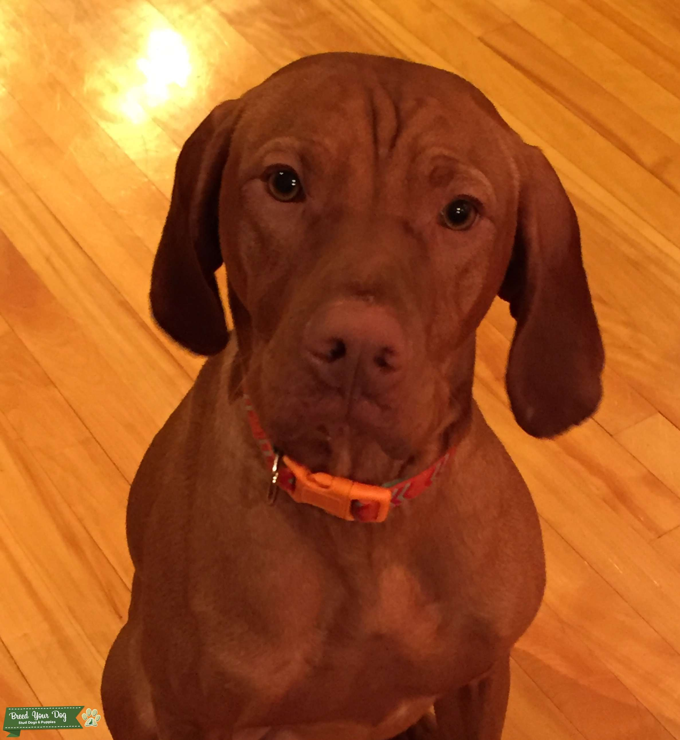 Looking to breed awesome Vizsla beast Listing Image Big