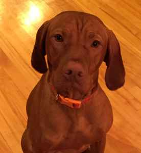 Looking to breed awesome Vizsla beast Listing Image