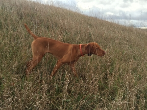 Looking to breed awesome Vizsla beast Listing Image Thumbnail