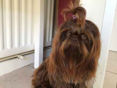 Stud Dog Shih Tzu Imperial Chocolate For Stud Breed Your Dog