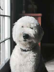 Proven White Head Old English Sheepdog available for Stud Listing Image