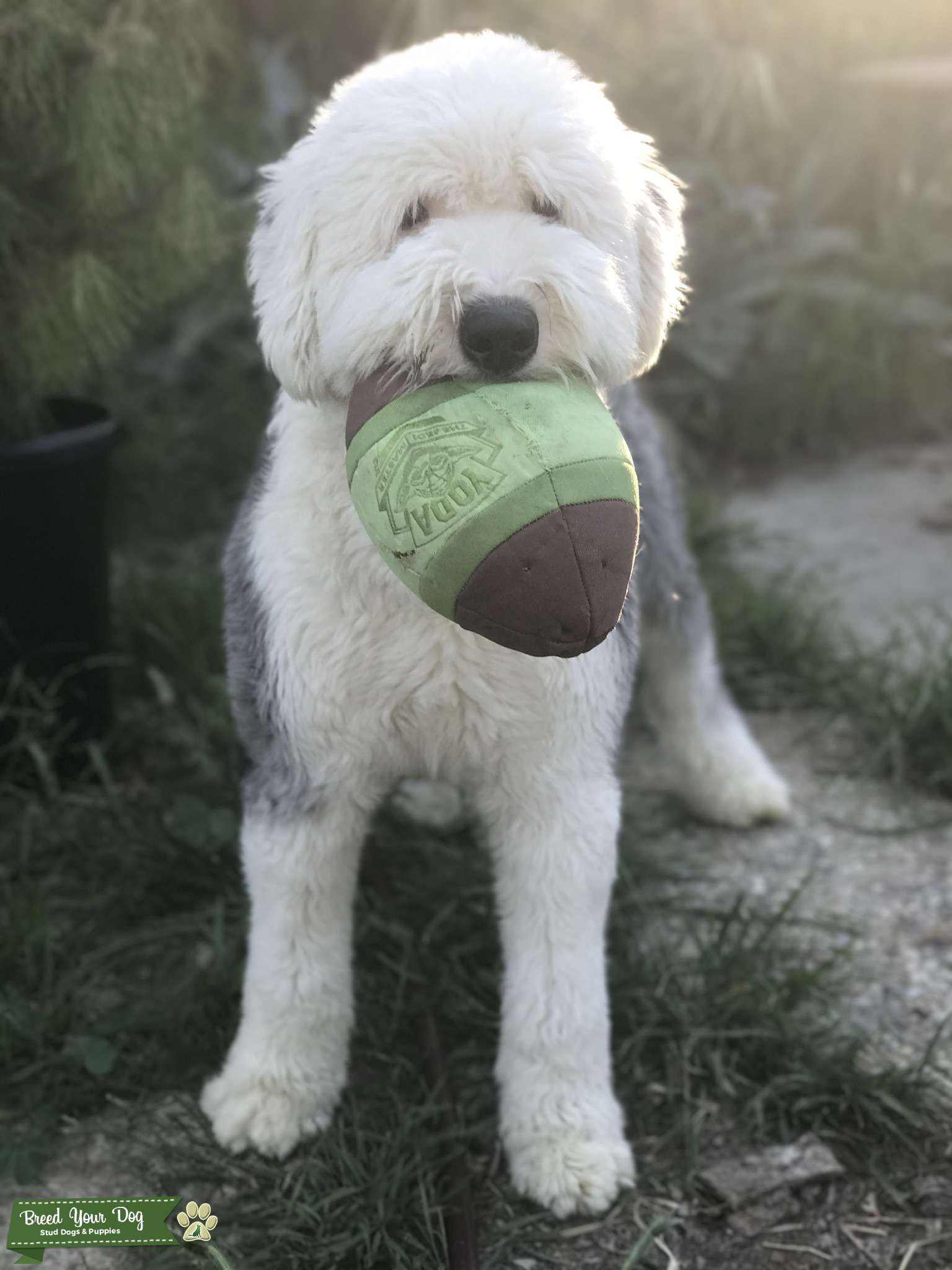 Proven White Head Old English Sheepdog available for Stud Listing Image Big