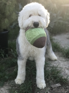 Proven White Head Old English Sheepdog available for Stud Listing Image Thumbnail