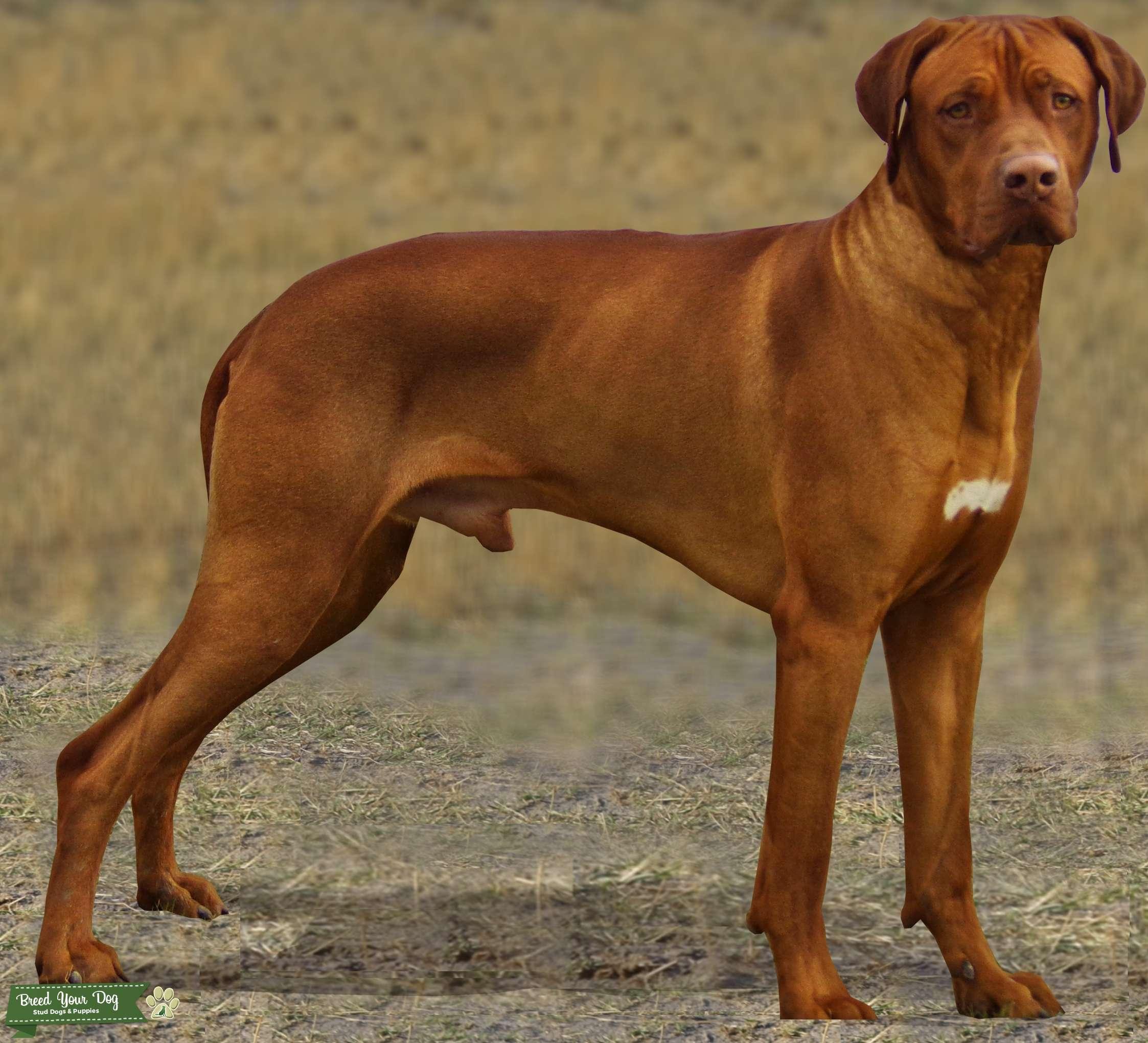 Rhodesian Ridgeback Livernose Stud Dog Listing Image Big