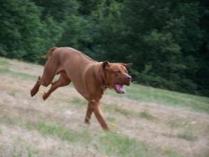 Rhodesian Ridgeback Livernose Stud Dog Listing Image Thumbnail