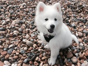 Samoyed X Pomeranian  Listing Image