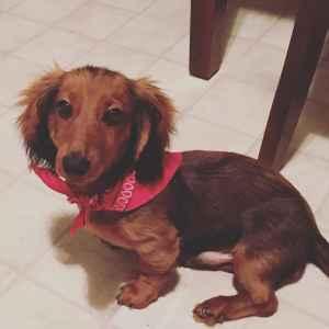 Stud mini long haired dachshund  Listing Image