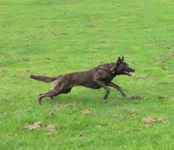 Dutch Herder cross Belgian Shepherd (Malinois) Listing Image