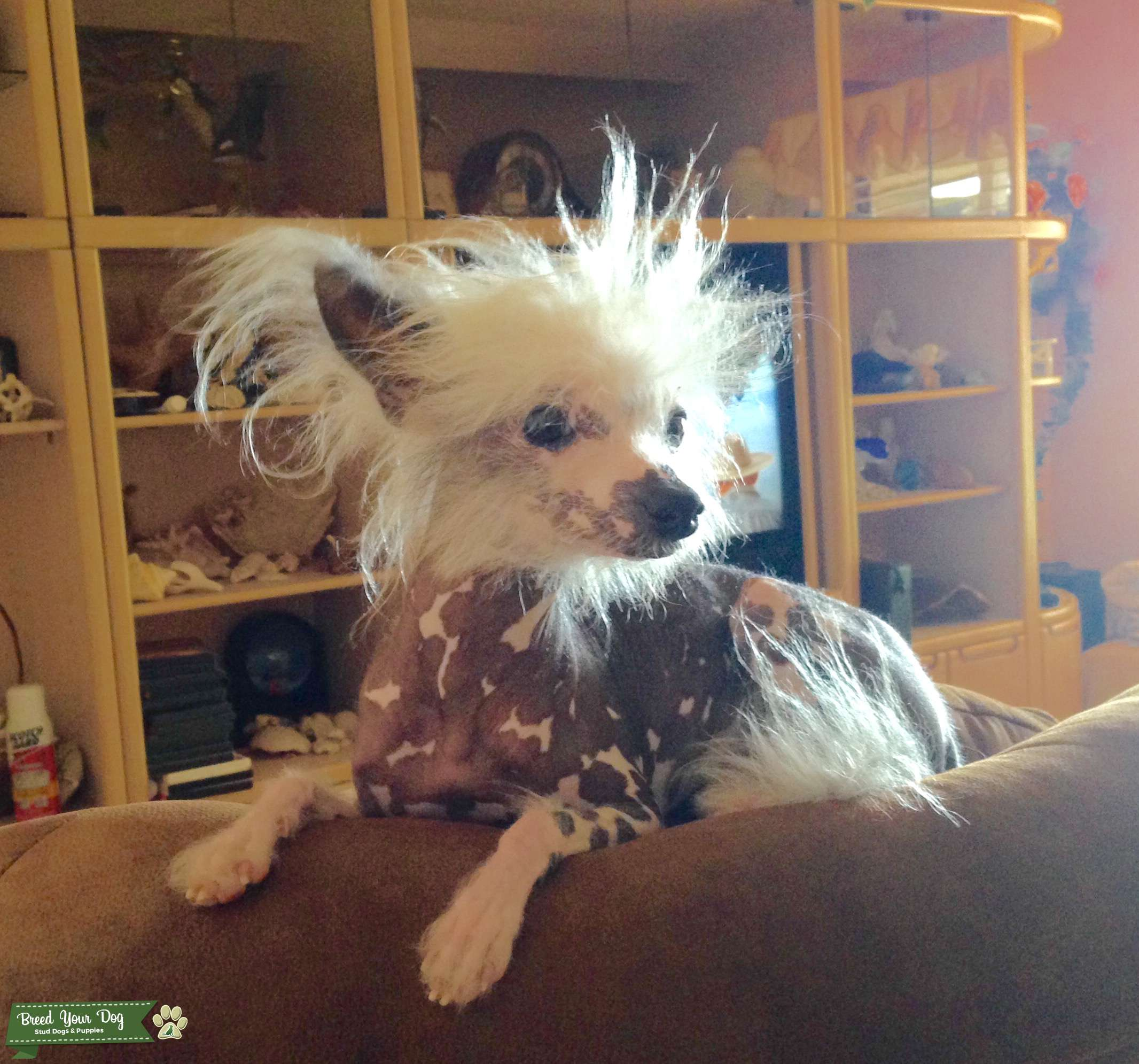 Handsome Toy Size Hairless Chinese Crested  Listing Image Big