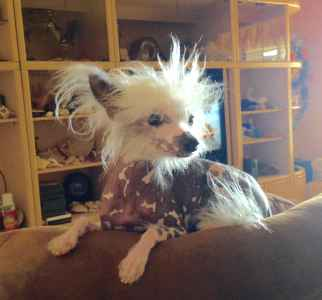 Handsome Toy Size Hairless Chinese Crested  Listing Image