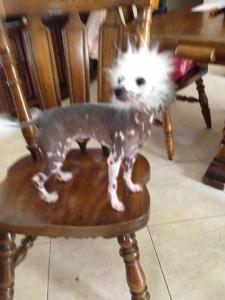 Handsome Toy Size Hairless Chinese Crested  Listing Image Thumbnail