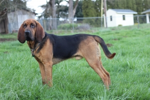 Bloodhound For Stud Listing Image