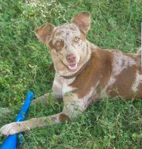 Red Merle Catahoula/Lab Mix Listing Image